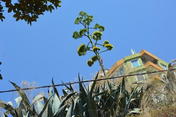 Yüzyıl bitkisi Silivri'de çiçek açtı